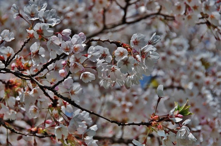 cherry-blossom-color