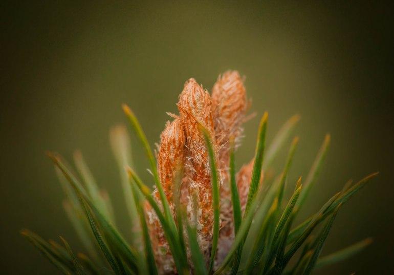 the-lofty-pine