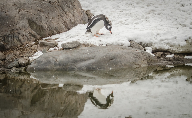 Gentoo penguin at Damoy Point